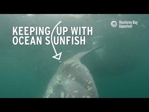 Keeping Up With Ocean Sunfish!