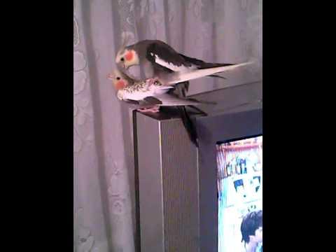 Порно попугай кеша