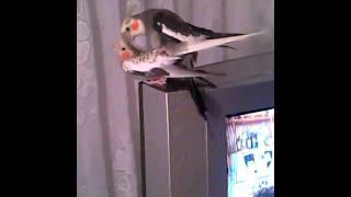 Корелла Попугайское XXX parrot cockatiel porn.