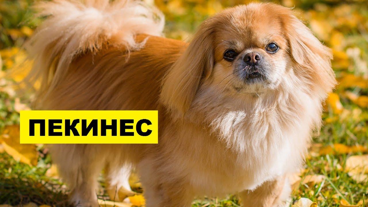Собака Пекинес описание плюсы и минусы породы Собаководство | Порода собак Пекинес
