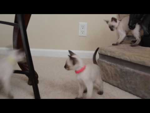 Nashville, Tennessee--Applehead Traditional Kittens--Classic Siamese--Siamese For Sale