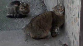 Дворовые коты метят территорию / Yard cats mark territory