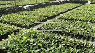 Jual bibit jati solomon kultur jaringan di Yogyakarta hub WA 081 391 683 045 AMBAR
