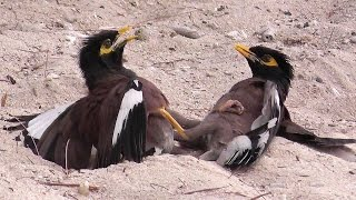Cute Mynah Birds (Beos)  - Birds fight over a female