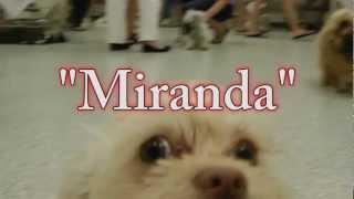 Miranda: Shih Tzu/boston Terrier Mix