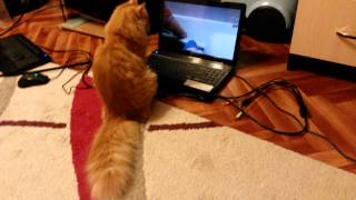 Кот-псих после ванной.