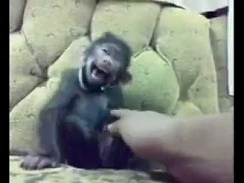 Funny monkey laughing