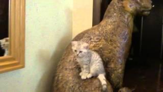 Шотландский Котенок и леопард, как друзья.Kitten and leopard, as friends.