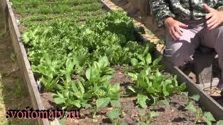 Эта подкормка позволит вырастить вкусную зелень без нитратов