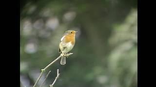 ヨーロッパコマドリ(1)さえずりと地鳴き(イギリスとフィンランド) - European Robin - Wild Bird - 野鳥 動画図鑑