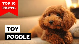 Toy Poodle  Top 10 Facts