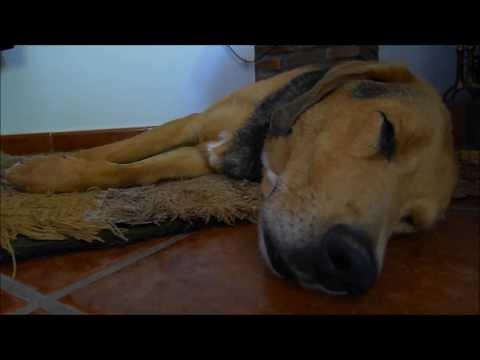 kerry beagle dreaming