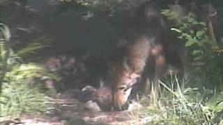Red wolf pups born at Wolf Haven International