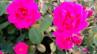 РОЗОВЫЕ РОЗЫ видео 2019 🌹 : кусты розы цвет фуксия
