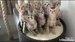 Sweet Cat's Dance. With songs