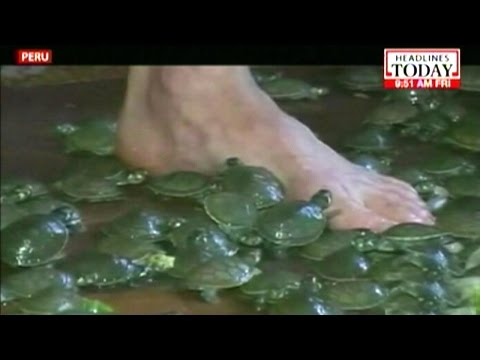 Video: Amazon turtles being released into the wild in Peru