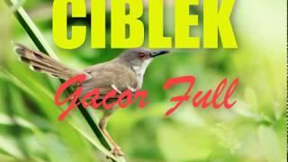 Download lagu Suara Burung Ciblek Juara Masteran 2018