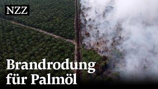 Stoppt Palmöl mit Nachhaltigkeitszertifikat die Abholzung vom Regenwald?