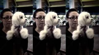 Maltipoo Dog - How Does A Maltipoo Dog Look Like
