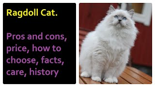Ragdoll Cat. Pros and Cons, Price, How to choose, Facts, Care, History