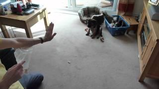 Border Terrier New Tricks At 13 Weeks Old
