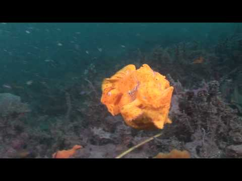 Crazy Animal Attack - Giant frogfish bites off more than it can chew! (HD)