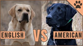 American Labrador vs English Labrador