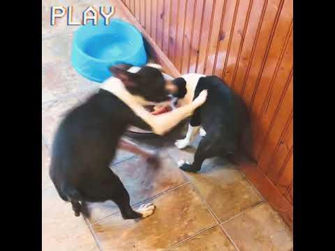 Puppy fight cam! Graycie & Stormi