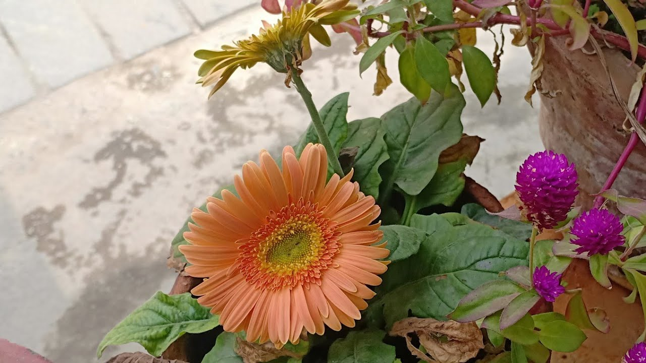 Gerbera daisy seed collection from the plant youtube gerbera daisy seed izmirmasajfo
