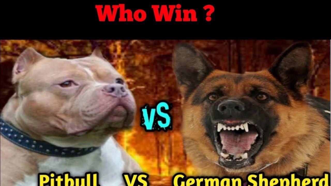 Pitbull VS German Shepherd | Who Win The Fight ? |# ...