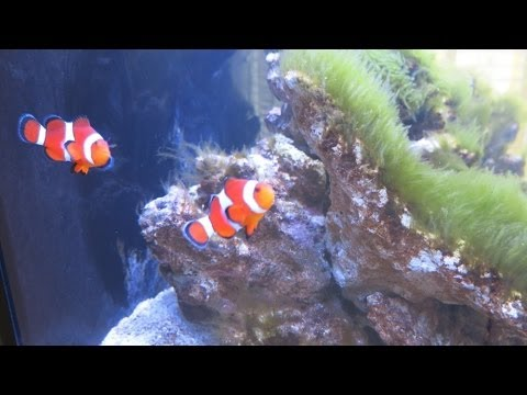 Red Sea Max C-250 Reef Aquarium - Part 2 - Cycling from Day 7 to Day 22