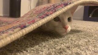 Mischievous Kitten 🐱