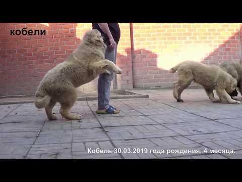 Продается щенки кавказская овчарка. Www.r-risk.ru +79262205603 Татьяна Ягодкина