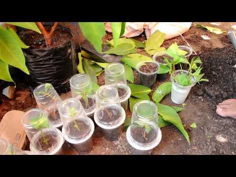 Cara Stek Pucuk Jambu Air/ Stek Batang  Metode Timbun/ Kubur  Tanah
