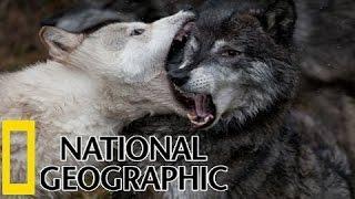 National Geographic  - Coywolf  : Wild Hybrid Animals  ( Coywolf  Documentary )