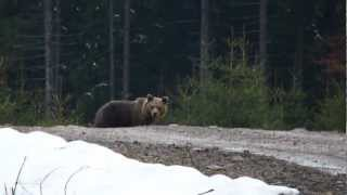 face to face a bear ( hej medved !!! )