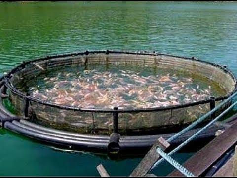 ★ Рыбу больше не покупаю. 9 фактов о том, как выращивают рыбу на продажу на рыбных фермах.