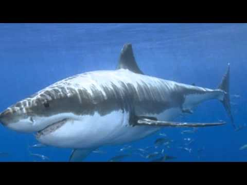 Shark eats a angler fish youtube for What do angler fish eat