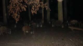 Lov na Divlje Svinje Hunting Austria