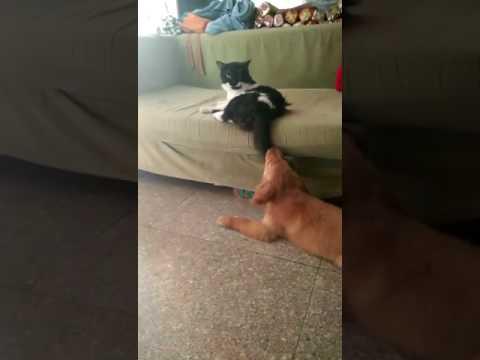 Dog Vs Cat Funny Fight