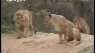 Tiger vs Lion / Tigre vs León / León Batle Tigre