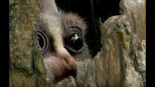 Robot Bushbaby Meets Chimp & Gets a Surprising Reaction!