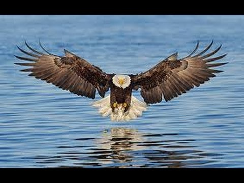 bald eagle hunting ducks portage lake pinckney mi youtube. Black Bedroom Furniture Sets. Home Design Ideas