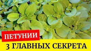 видео Секреты выращивания рассады петунии