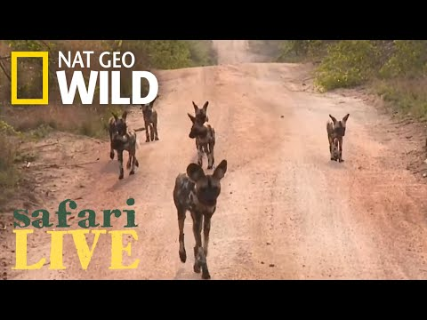 Safari Live - Day 1 | Nat Geo WILD