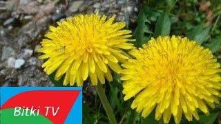 Altın Otu - Ölmez Çiçek - Bitki TV