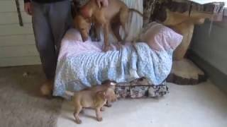 Vizsla Puppies For Sale In East Earl Pa.
