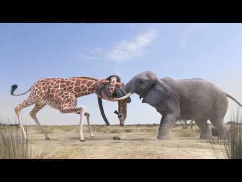 Elephant vs Giraffe Water Fight