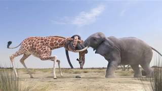 Elephant vs Giraffe Water Fight