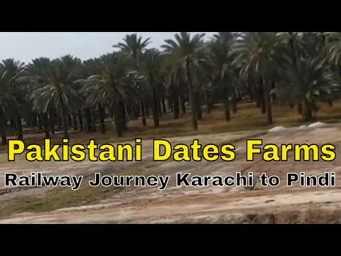 Dates Farms in Sindh Pakistan